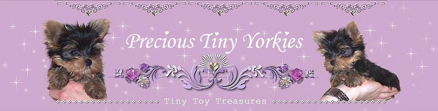 home of teacup toy tiny puppies yorkies yorkshire terrier