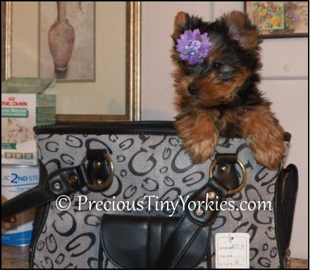 Tiny Pocketbook Yorkie Puppies Yorkshire Terrier Pocket Book