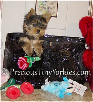 Tiny Pocketbook Yorkie Puppies Yorkshire Terrier Pocket