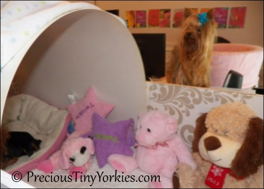 tiny yorkie puppies in a bassinet