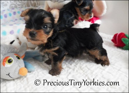 toy yorkie pocket puppies